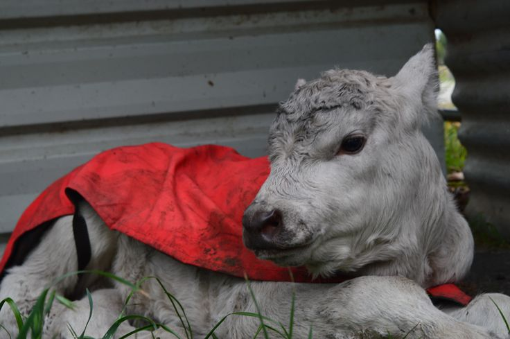 New born Murray Grey Calf he is one of a twin.  But his mum didn't want him.