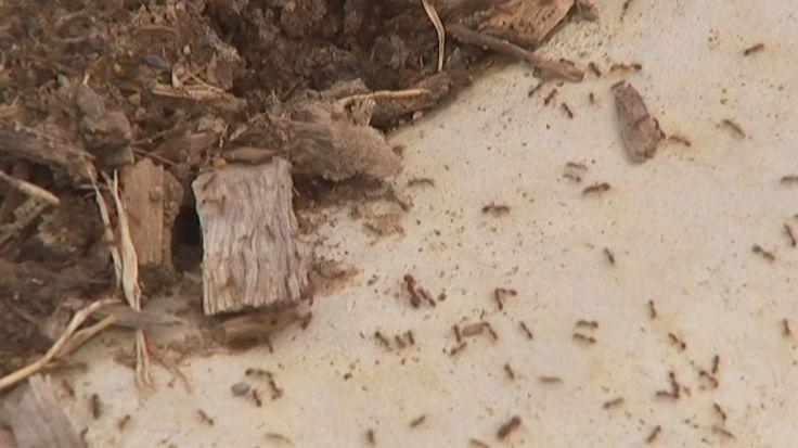 Australia lucha contra una invasión de hormigas rojas de fuego