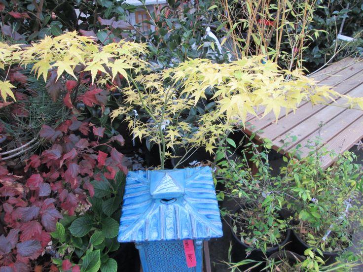 Acer Palmatum U0027Ayogiu0027 In All Of Itu0027s Fall Glory, Beautiful Golden Yellow.