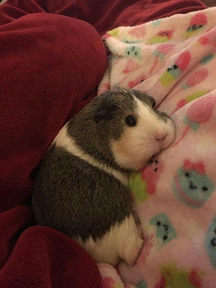 This is too cute! My guinea pigs laid on me once and i didnt want to move at all!