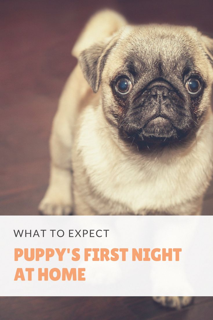 Bring a dog home can be tough a puppys first night at