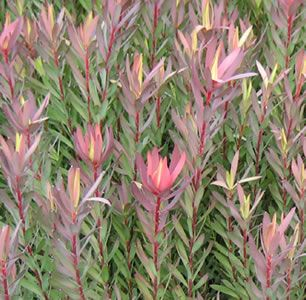 Leucadendron laureolum x salignum  Deep red/purple foliage with flowers during autumn-winter. Suitable for pots and containers (with Australian native potting mix). Very low maintenance, medium frost and drought tolerant once established. Suitable for a variety of soil types, but mus...