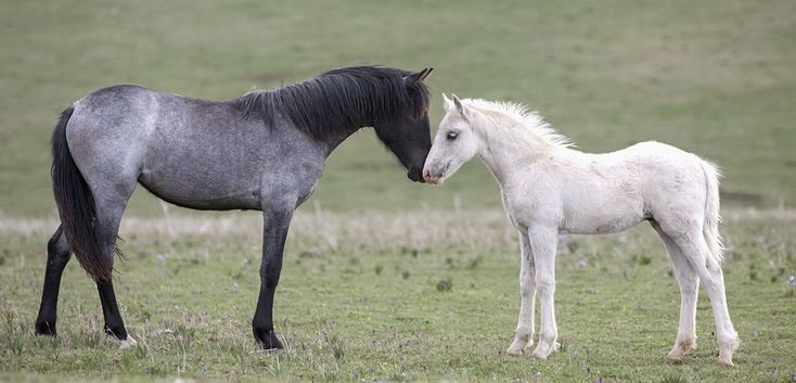 Pryor Mountain Mustangs - the foal is Cloud's grandson, Echo.