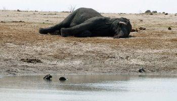 В Зимбабве браконьеры отравили цианидом 14 слонов   Head News