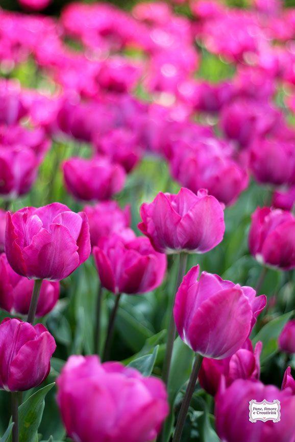 Tulipani - Tulips  Parco Sigurtà