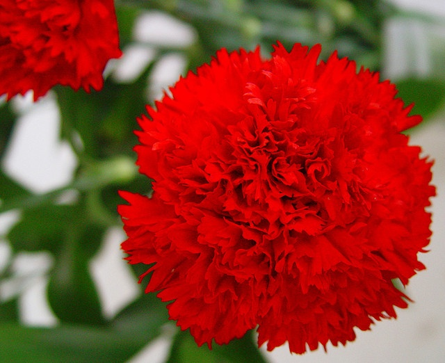 Flor de Clavel rojo   Flickr - Photo Sharing!