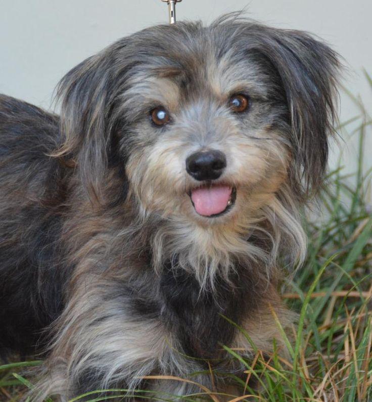 WILSON is an adoptable Tibetan Spaniel searching for a