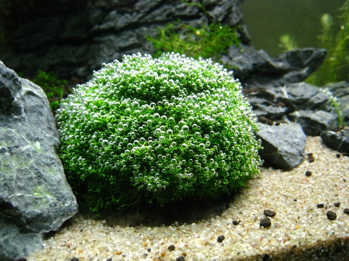 109 best aquascaping paludarium terra images on pinterest for Freshwater pond plants
