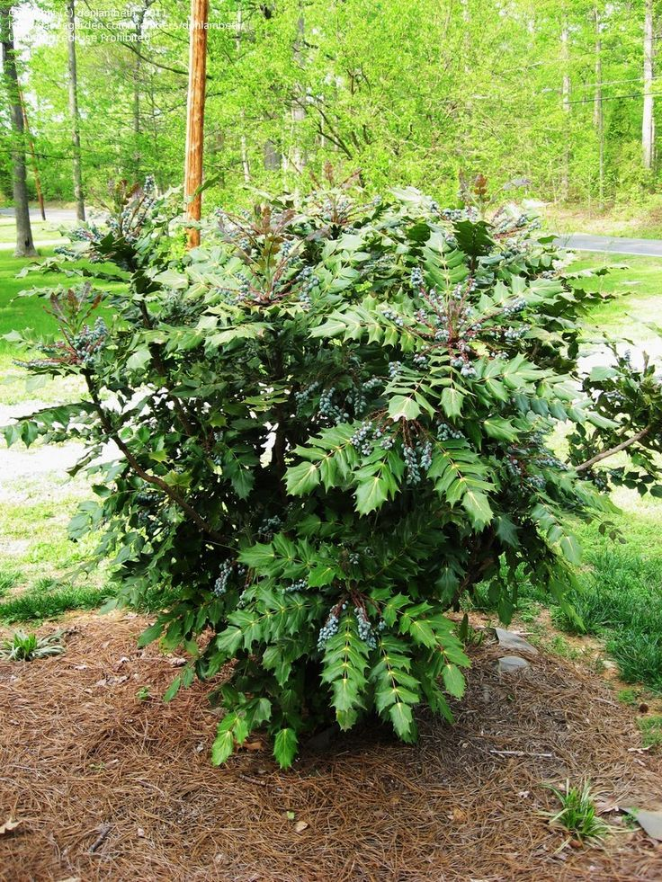 Full Size Picture Of Leatherleaf Mahonia Beale 39 S Barberry