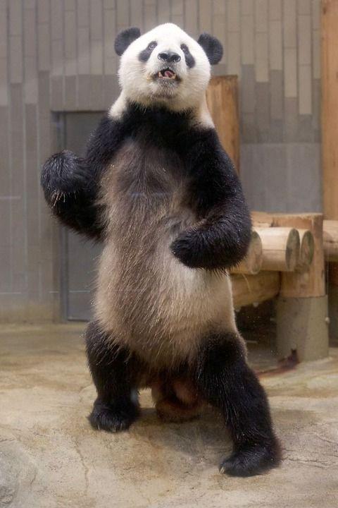 【画像】 上野動物園にカンフーパンダがいると世界で話題に ラビット速報