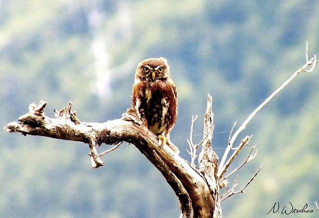 Un encuentro casual en Futaleufú  Austral Pygmy-Owl (Glaucidium nanum) by Natalie Witxakeo| Flickr - Photo Sharing http://www.flickr.com/photos/nwitxakeo/13228214045/in/photostream/
