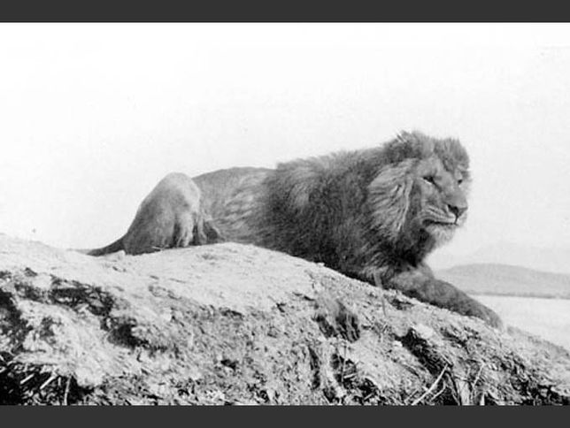The last wild Barbary lion was shot in the Atlas Mountains of Morocco in 1922.credit: Sir Alfred Edward Pease, 1893
