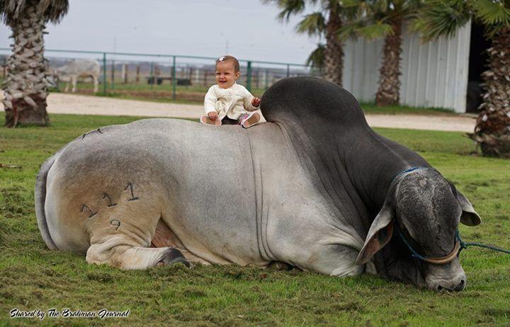 Brahma bull - gentle giant.