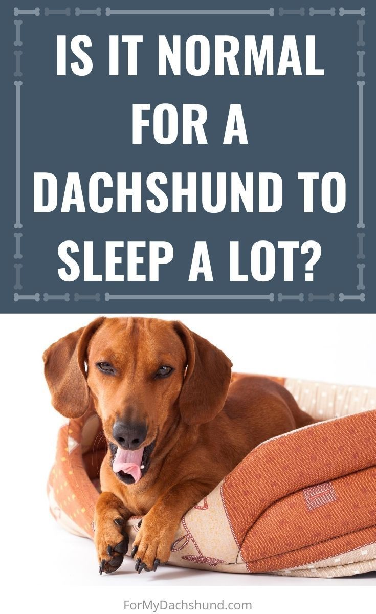 Is It Normal For A Dachshund To Sleep A Lot Sleeping Puppies Sleeping Dogs Dachshund