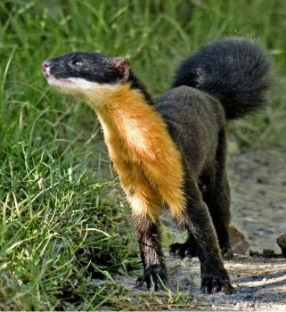 THE NILGIRI MARTEN, which Naseer photographed at the Pampadumshola National Park. Encounters with the civet-like animal are very rare.