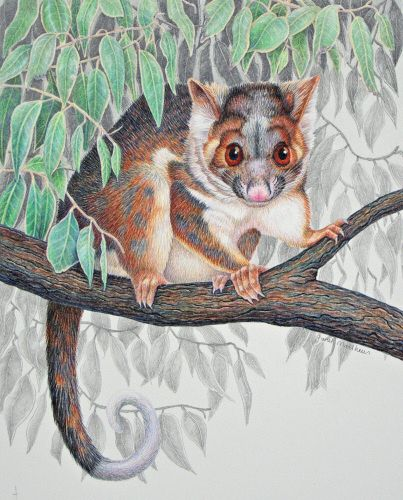 "Janet Matthews | COLORED PENCIL and GRAPHITE | Ringtail Possum | ""Gentle Visitor"""
