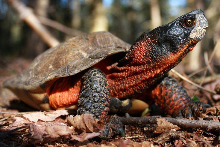 Glyptemys insculpta - Wood Turtle