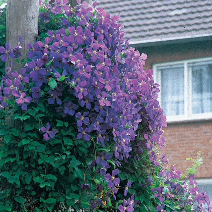1000 images about climbing vines for fences on pinterest for Climbing flowering plants for fences