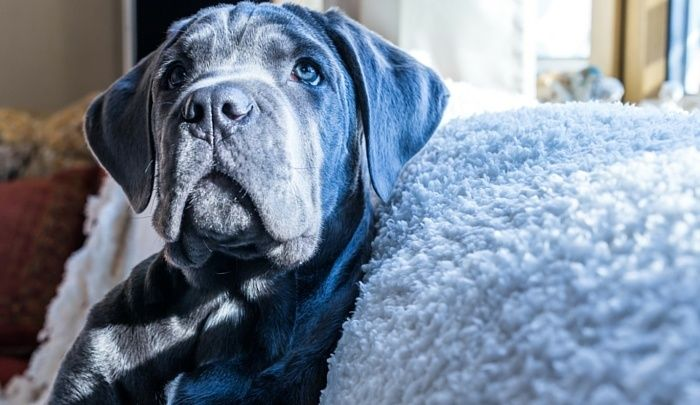 79 Cane Corso Puppies For Sale In Florida In 2020 Cane Corso Puppies Puppy Kennel Cane Corso