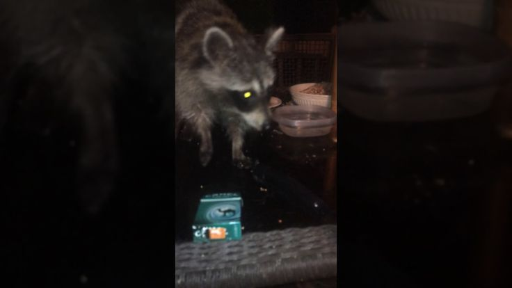 Raccoon comes sits on my lap eats right out of my hand.  https://youtu.be/2gMLVOs51lQ