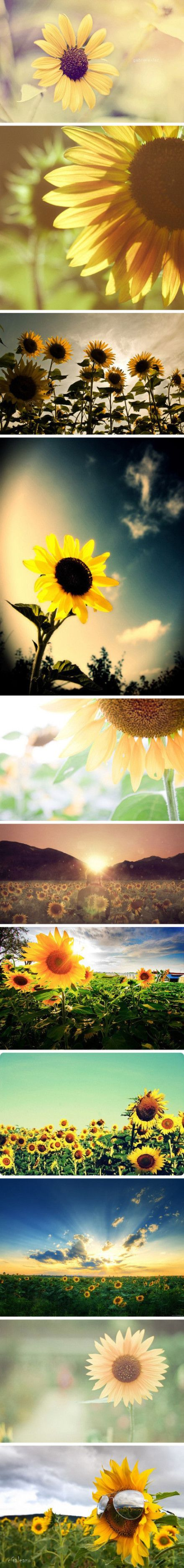 sunflowers are so cheerful! *_*