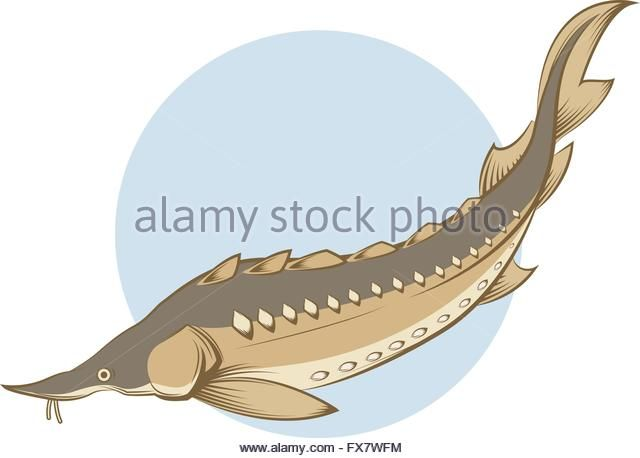 Sturgeon Fish Swimming Stock Photos & Sturgeon Fish Swimming Stock ...