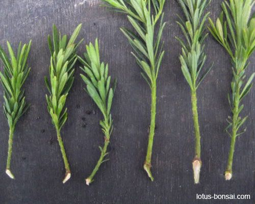 Bonsai propagation: Podocarpus 'maki'