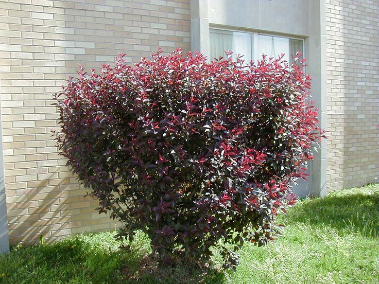 1000+ images about Plant list 9 Sem 2 on Pinterest   Cherries ...