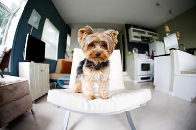 Aquí descubrirás las mejores razas de perros para criar o tenerlos en departamentos. Así que ingresa a: http://comoadiestraraunperro.com/razas-perros-departamentos/