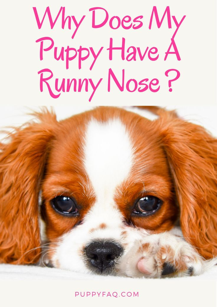 Puppy Runny Nose Causes And Treatment Dog Runny Nose Pet Care