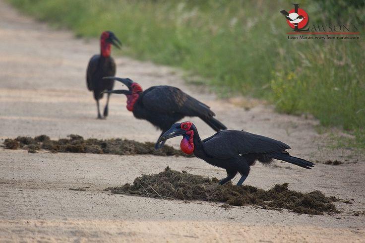 Sthn Ground Hornbills sifting through elephant dung, Kruger