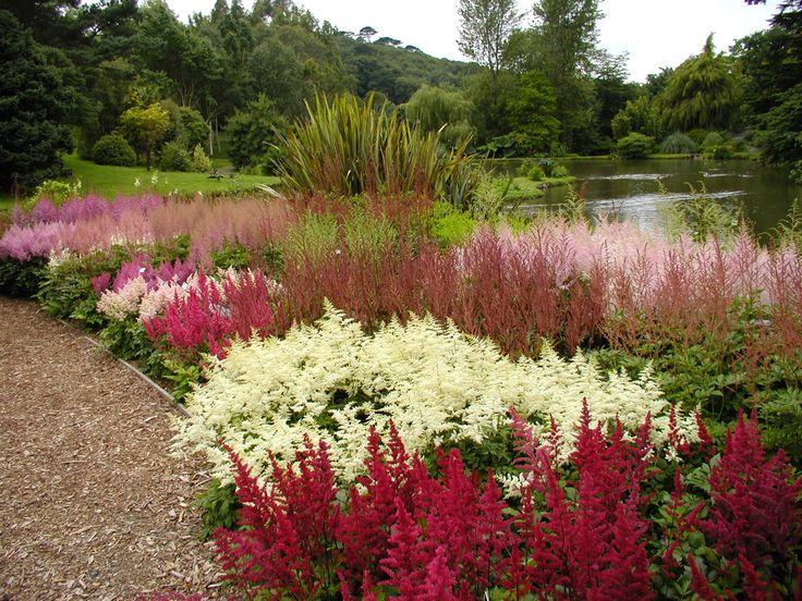 Astilbes in Marwood Hill garden England
