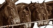 Mule Line-up - Russell Ford