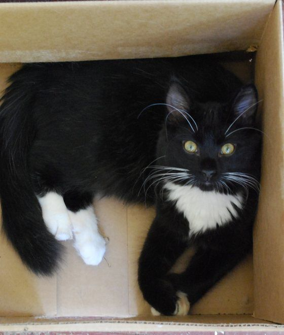 cute rescue tuxedo cat polydactyl
