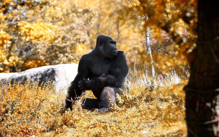 beautiful gorilla wallpaper 46742