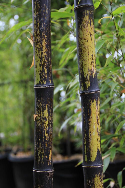 "Phyllostachys nigra ""Black Bamboo"" Phyllostachys nigra Common name: ""Black Bamboo""  Expected Height: 20 to 35 feet Diameter: 2.25 inches Hardiness: 5° F USDA Zone recommended 7 through 10"