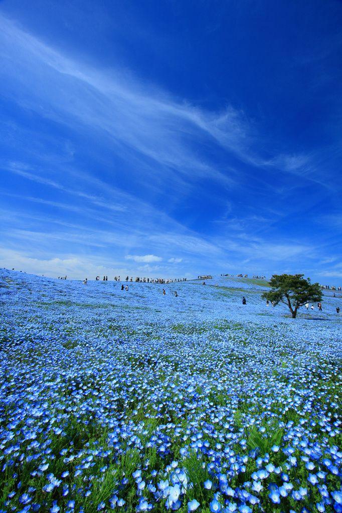 """baby blue-eyes""(Nemophila)- Hitachi Seaside Park in Hitachinaka, Ibaraki, Japan                                                                                                                                                                                 もっと見る"