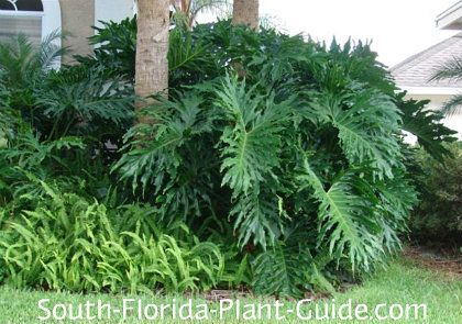 Philodendron Selloum Layers of rich green, deeply divided leaves makes philodendron selloum the star of South Floridas tropical gardening.