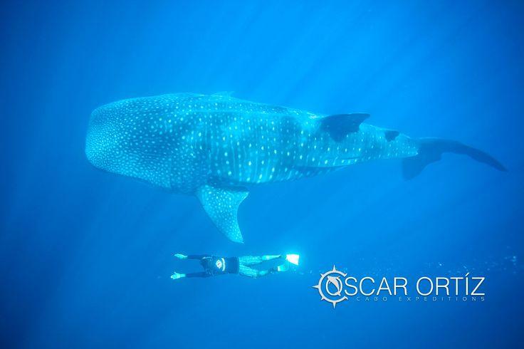 Tiburon Ballena el pez mas grande del Oceano ,
