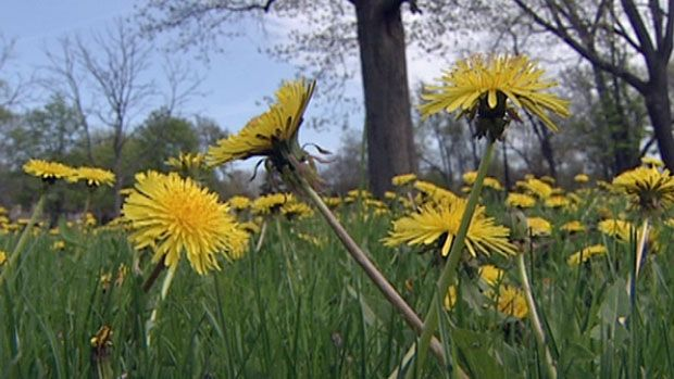 Researchers at the University of Windsor will study dandelion root extract's cancer-fighting properties.