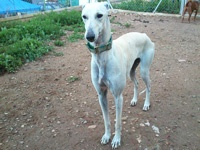 Suri: A rescued galga from a marginal village where she had been knocked down. She now spends her days playing. She is a greatful galga, and so adorable. Balanced and loving.  Approx. age 3  Negative Leishmania, erlichea, filaria. Vaccinated, sterilised, chip, passport.    She's waiting for you!