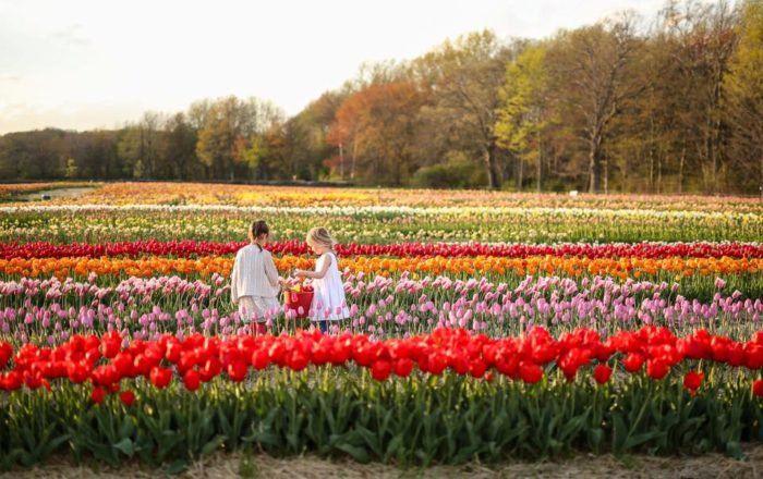 Pin On Tulip Farm