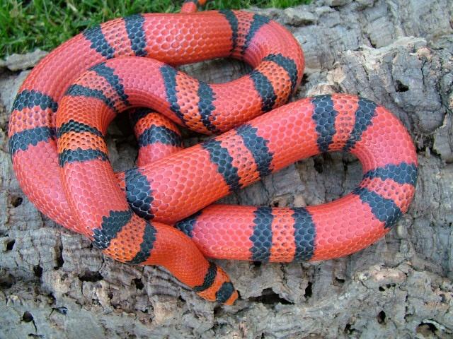 Honduran 'Tangerine' Milk Snake