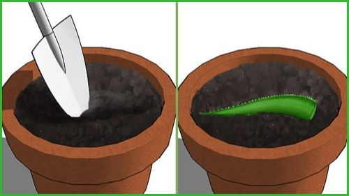 cultivo-aloe-vera