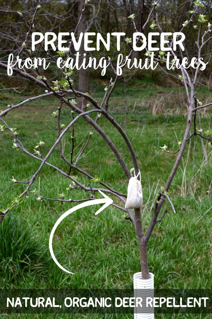 Natural organic deer repellent fruit trees, Prevent Deer from Eating Apple Trees {natural organic deer repellant} | Whole-Fed Homestead