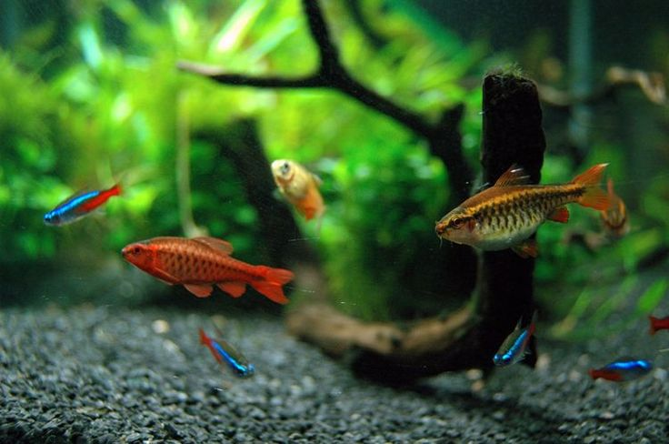 Choosing the First Fish for Your Freshwater Aquarium, the Right Mix