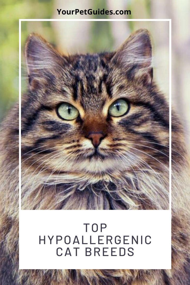Anti Allergy Cat Breeds In 2020 Cat Breeds Cats Hypoallergenic Cats