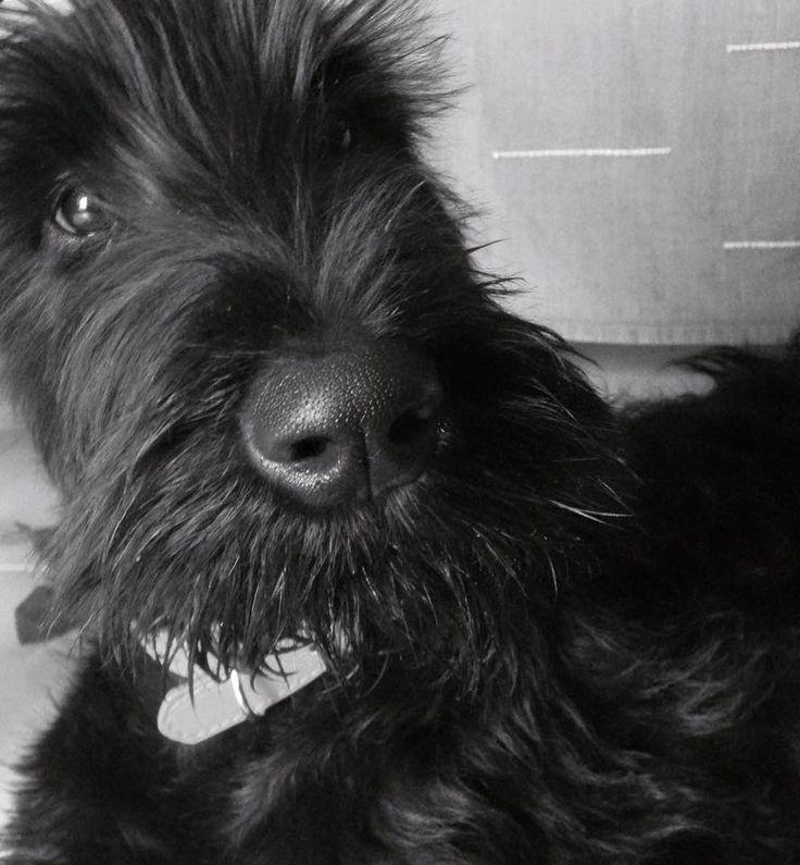 Molly the giant schnauzer is now 4 months old