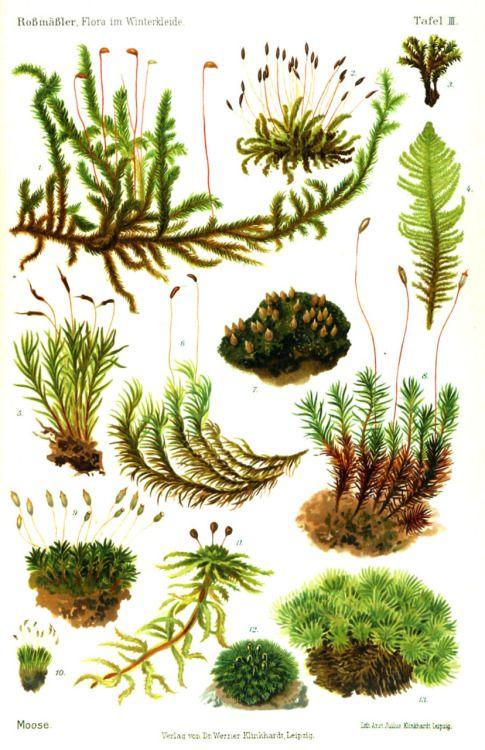 Moose Moss Flora im Winterkleide (1908)   wallacegardens #Infographic #Moss