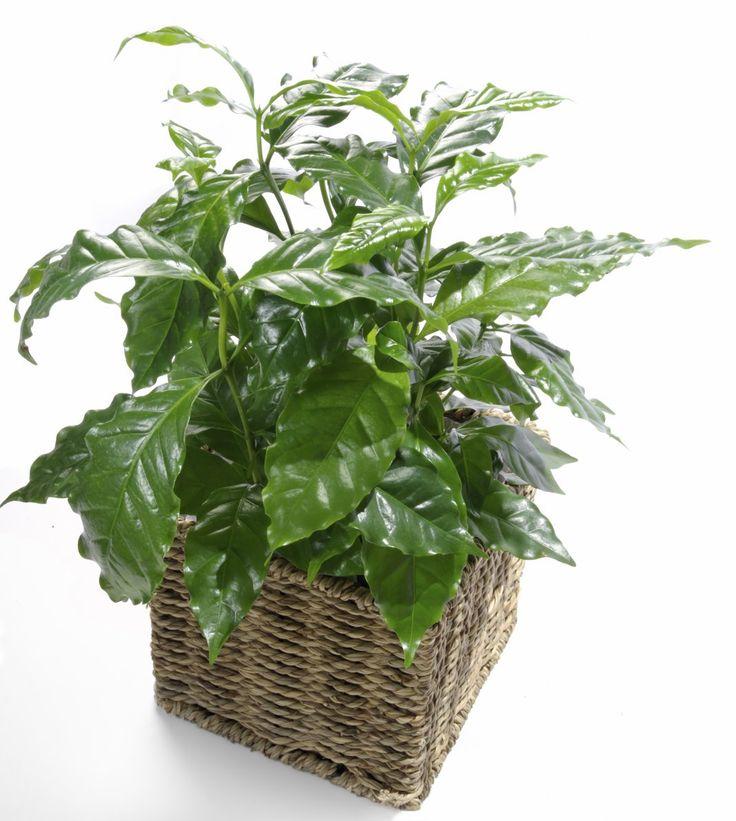 Кофе, или Кофейное дерево (Coffea)